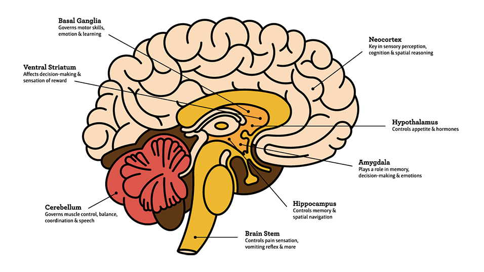 Brain illustration